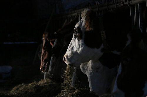 dieren, koeien, vee, rund, koe von Thamara Janssen