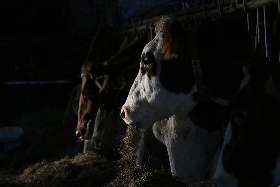 dieren, koeien, vee, rund, koe
