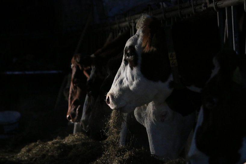 dieren, koeien, vee, rund, koe van Thamara Janssen