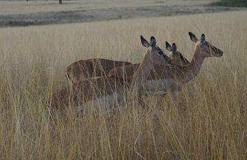 Gazelles / Impala's Mlilwane, Swaziland, Zuid-Afrika van Maurits Bredius