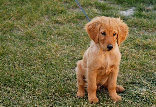 Golden Retriever puppie van