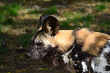 Een starende wilde hond in Gaia Zoo Kerkrade van Quint Wijnhoven