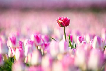 Tulipe perdue sur Dennis Janssen