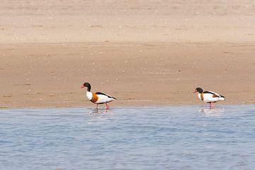Trekvogels langs de Kust