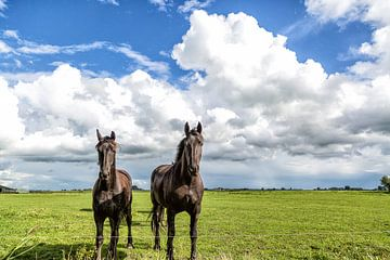 Friese paarden van Willy Sybesma