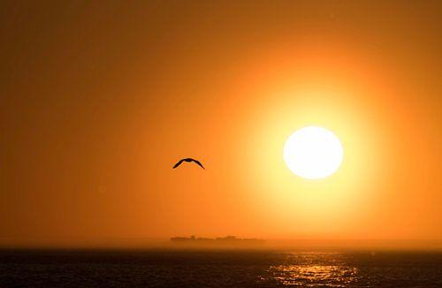 Meeuw op Terschelling met ondergaande zon van