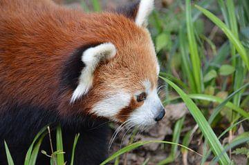 Rode panda van Dennis Mullenders