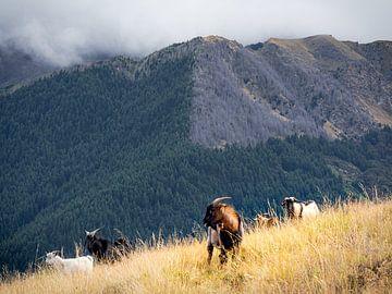 Nieuw-Zeeland - Queenstown - Geiten op de heuvel van Rik Pijnenburg
