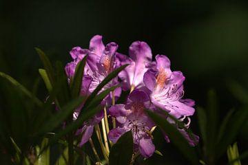 rododendron & zonlicht II van Marvin Van Haasen