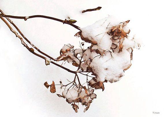Bevroren hortensia in de sneeuw