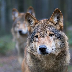 wolf van