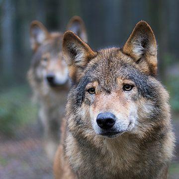wolf von jan van Welt