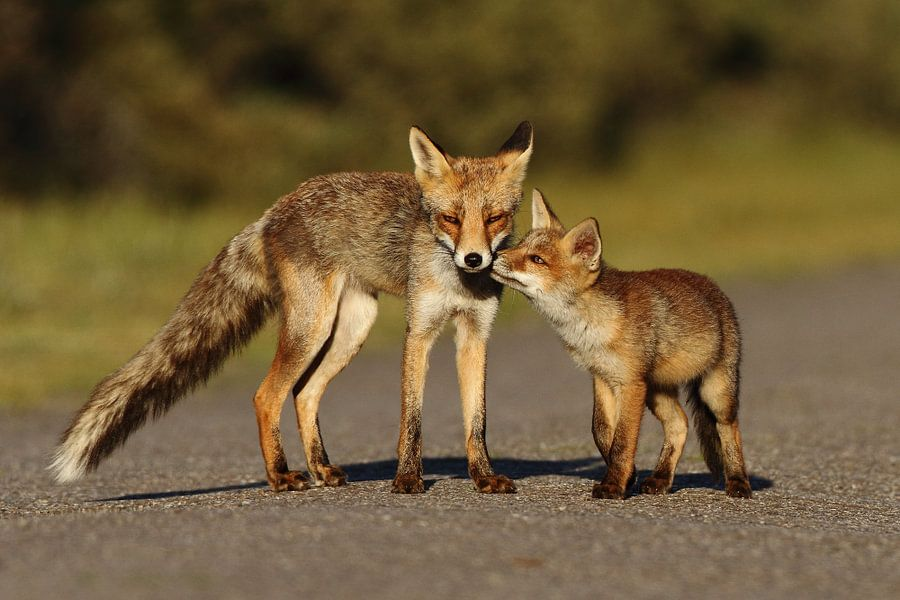Jonge vos en moeder