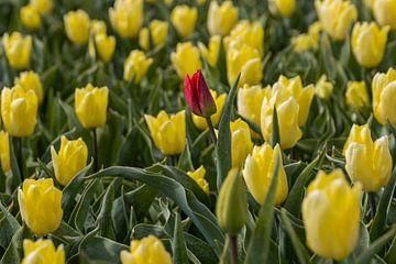 Rote Tulpe zwischen gelben Tulpen von Sander Groenendijk