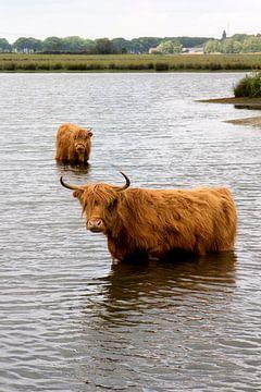 Schottischer Hochländer badet 2 von Carin Klabbers