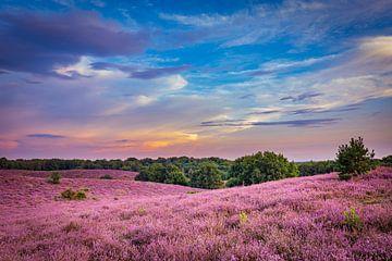 Blühendes Heidekraut bei Sonnenuntergang von Hilda Weges