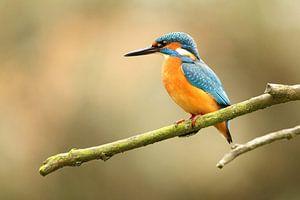 IJsvogel zoekt naar vis
