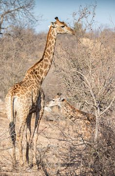 Moeder en Jong Giraf in Zuid-Afrika van Eveline van Beusichem