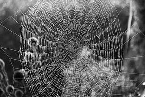 Schönes Spinnennetz in schwarz-weiß