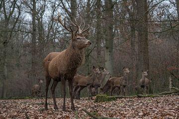 Edelherten in het bos sur Michiel Leegerstee