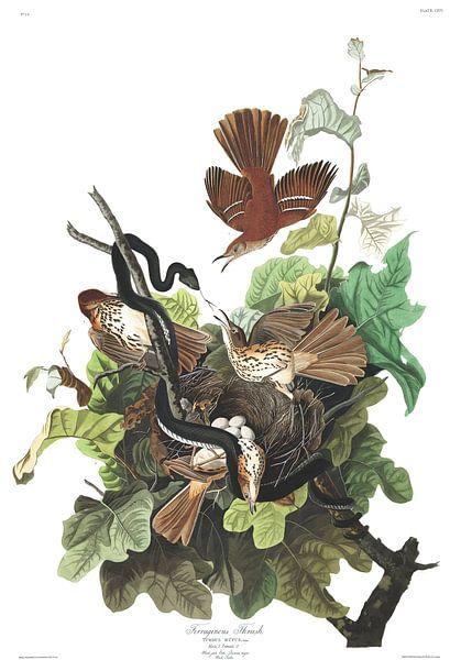 Rosse Spotlijster van Birds of America
