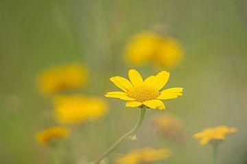 Fleurs jaunes sur Gonnie van de Schans