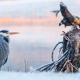 Blauwe Reiger tijdens koude ochtend von Dennis Hilligers