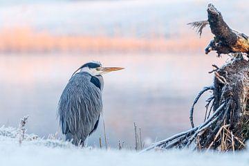 Blauwe Reiger tijdens koude ochtend
