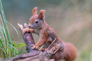Rode eekhoorn in de Kalmthoutse Heide van Sven Scraeyen