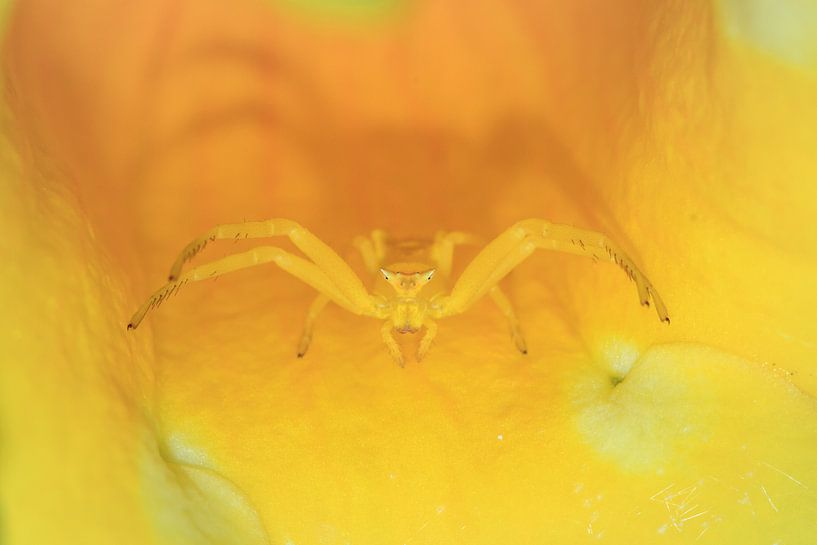 Gele krabspin Madagaskar van Dennis van de Water