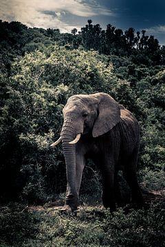 Olifant in Kruger Zuid-Afrika van Lorenzo Holtkamp
