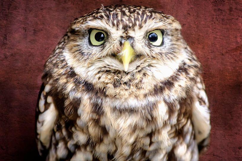 Little Owl sur Jan Brons