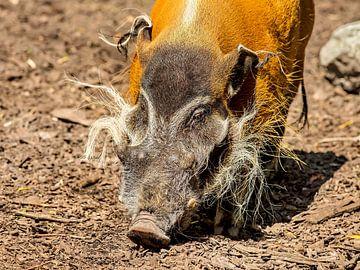 Penseelzwijn (Potamochoerus porcus) van Rob Smit