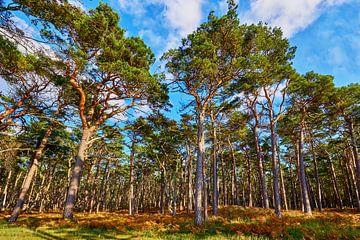Windflüchter am Weststrand auf dem Darß von Reiner Würz / RWFotoArt