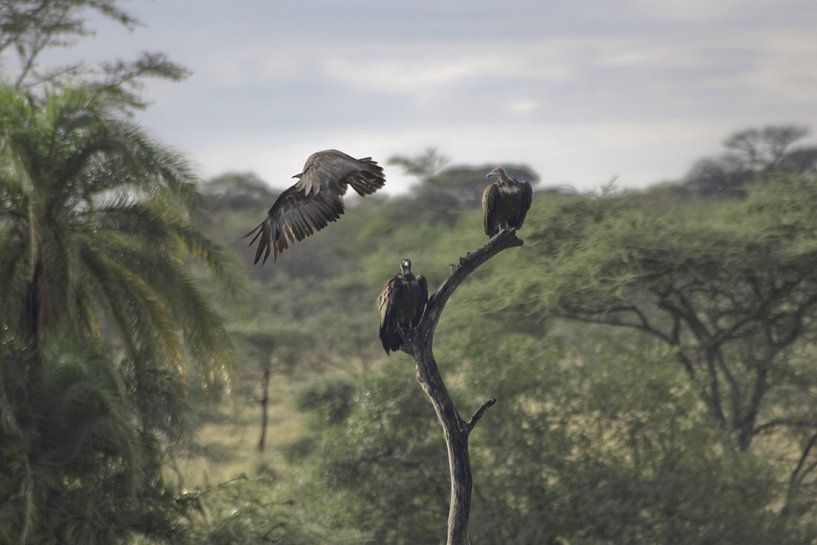 Vulture take-off van BL Photography