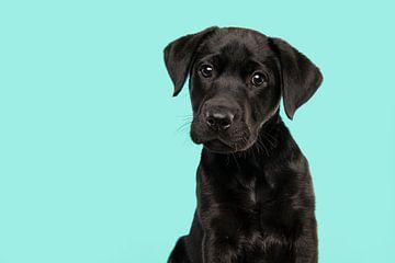 Porträt eines schwarzen Labrador Retriever-Welpen vor einem türkisblauen Hintergrund von Elles Rijsdijk