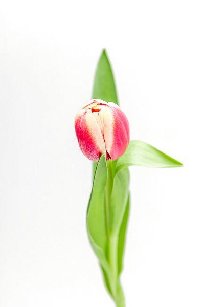 Tulp van Ratna Bosch
