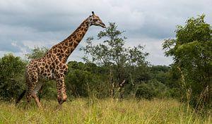 giraffe in south africa during safari