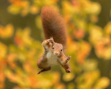 Springende eekhoorn tijdens de herfst