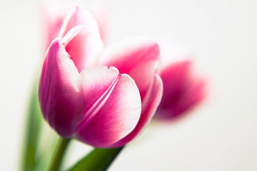 Roze tulpen van Ada Zyborowicz