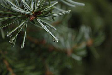 waterdruppel aan dennenboom van nikita van der Starre- Zagers
