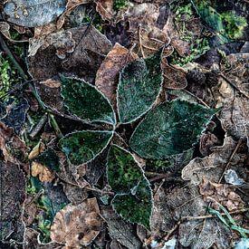 braambladeren met rijp von jowan iven