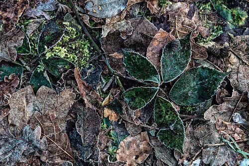 braambladeren met rijp