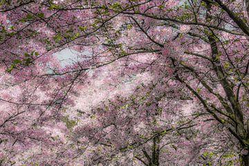 Kersenbloesem in volle bloei van Violet Johan