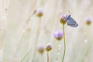 slapend heideblauwtje op engels gras