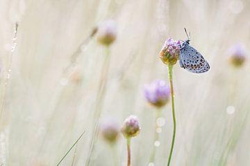slapend heideblauwtje op engels gras van Francois Debets