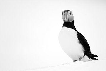 Zwartwit opname van een Papegaaiduiker van AGAMI Photo Agency
