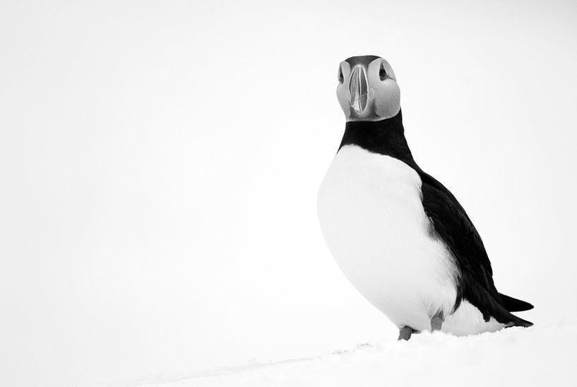 Schwarz-Weiß-Aufnahme eines Papageientauchers von AGAMI Photo Agency