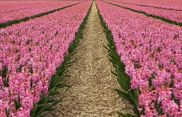 Blumen der Niederlande, ein bauchiges Feld mit rosa Hyazinthen von Discover Dutch Nature