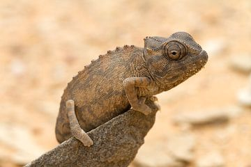 Chamäleon in der Namib von Angelika Stern